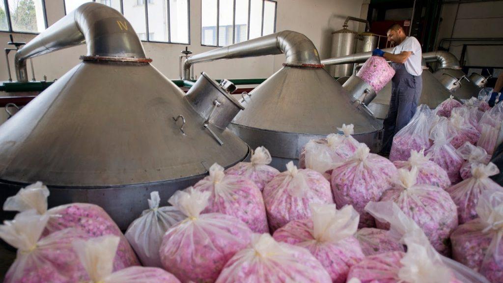 Изготовление розового масла