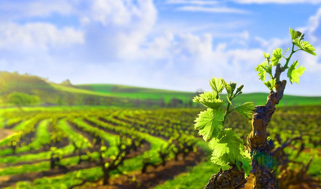 виноделие и виноградники